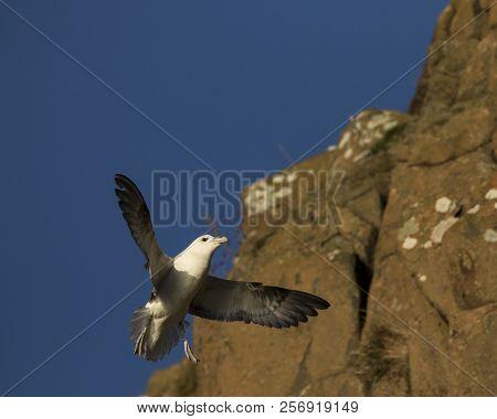Fulmar Landing On Cliff Edge By Other Fulmar On The Cliffs At Hawkcraig, Aberdour