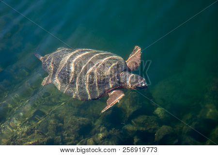 Sea Turtle Caretta Caretta In The Bay Of Argostoli On Greek Island Kefalonia