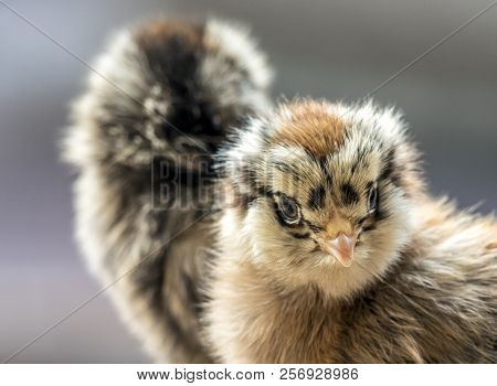 Chicken,gallus Gallus Domesticus Is A Type Of Domesticated Fowl, A Subspecies Of The Red Junglefowl.