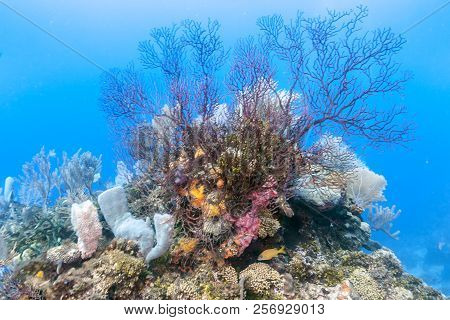 Coral Reef In Carbiiean Sea With Deep Water Gorgonians
