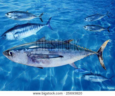 Albacore Thunnus alalunga fish between bluefin tuna school