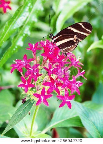 Beautiful Butterfly On Pink Flowrr In A Garden