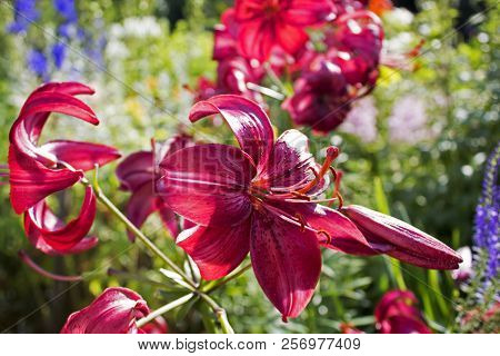 Lots Of Beautiful Dark Red Garden Faded Lilys
