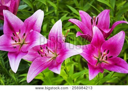 Lots Of Beautiful Pink Garden Faded Lilys
