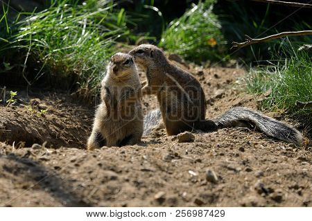 Full View Of Black-tailed Prairie Dogs At A Burrow Entrance. Photography Of Nature And Wildlife.