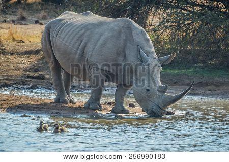 A Male Bull White Rhino With Big Horn Drinking Water In Makorwane Dam In Pilanesberg National Park