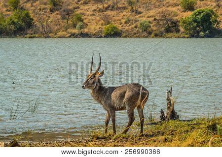 A Waterbuck Or Buck Or Nyala Drinking Water In Pilanesberg National Park Near Makorwane Dam And Hide