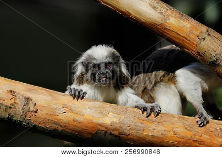 Portrait Of Female Adult Cotton-top Tamarin A Small New World Monkey On The Tree Trunk. Photography