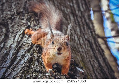 Squirrel On Tree. Closeup Of Cute Grey And Red Squirrel Eating Nut (sciurus Vulgaris). Curious Squir