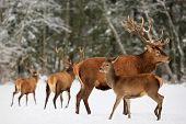 A noble deer male with female in the herd against the background of a beautiful winter snow forest. Artistic winter landscape. Christmas image. poster