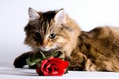 Young cat with a rose for valentine's day. poster