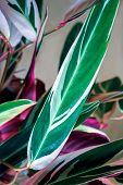 Beautiful Calathea colorful green and purple leaves on cream color background. Calathea ornata Pinstripe Calathea,Tropical foliage. poster