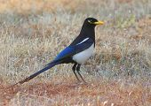 Yellow-billed Magpie in a California farm field poster