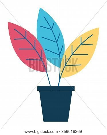 Houseplant With Big Red, Blue And Yellow Leaves, Vegetation In Black Pot. Plant That Grown Indoor In