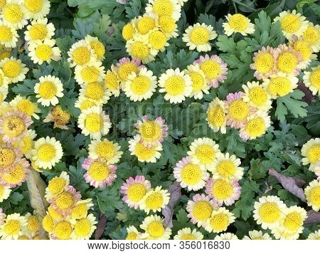 Yellow Daisy, Marguerite Daisy (argyranthemum Frutescens Madeira Crested Yellow) With Green Leaves B