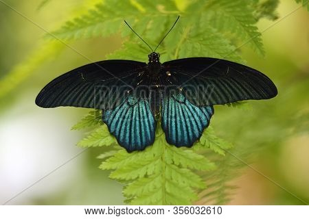 Papilio Memnon, Tropical Butterfly Sitting On Green Leaf.