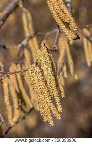 Hazelnut Tree With A Lot Of Big Yellow Hazelnut Pollen