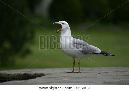 Seagull Squaking