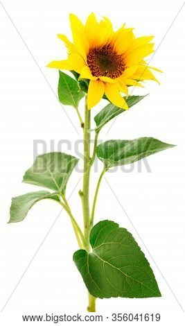 Group Of Yellow Bright Beautiful Sunflower Flowers Collage Isolated On White Background With Green L