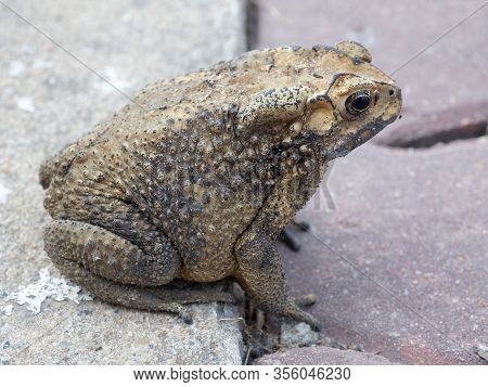 Close-up Asian Toad (duttaphrynus Melanostictus) Amphibian Animal , Toad Asian Brown.