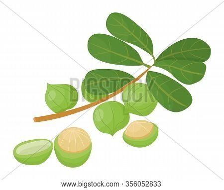 Branch With Green Leaves And Maroochi Nut. Macadamia Nuts Isolated On White Background. Small Core I