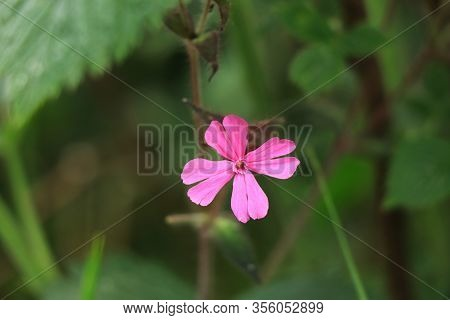 Cute Detail On Pink Geranium Robertianum In The Middle Of Wild Nature, Near Forest In Beskydy, Czech