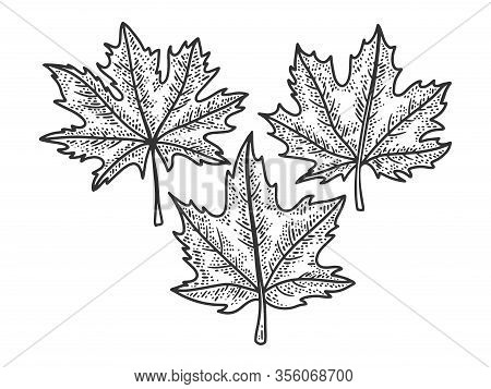 Maple Leaves Set Sketch Engraving Vector Illustration. T-shirt Apparel Print Design. Scratch Board I
