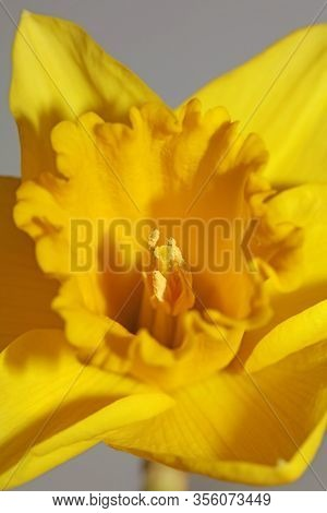 Yellow Narcissus Flower Macro Background High Quality Pseudonarcissus Family Amaryllidaceae