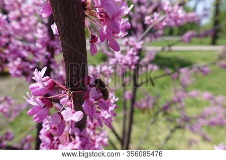 Bee Pollinating Flowers Of Cercis Canadensis In April
