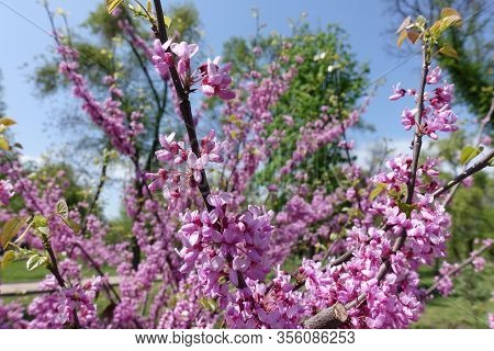 Bright Pink Flowers Of Cercis Canadensis In April