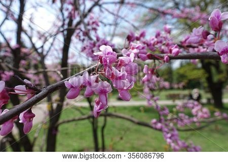 Close Shot Of Pink Flowers Of Cercis Canadensis In May