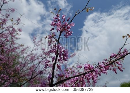 Florescence Of Cercis Canadensis Against The Sky In May