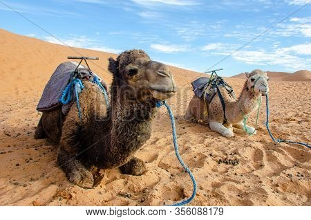 A Pair Of Single-humped Camels (dromedary) In The Merzuoga Region Of Morocco In The Sahara Desert