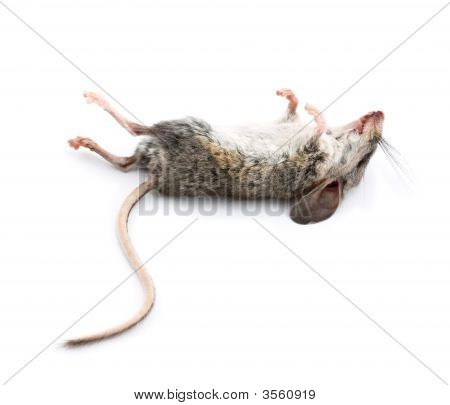 Dead Mouse With Feet To The Sky