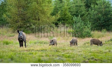 Wild Boar Herd With Sow And Three Offsprings Grazing On Meadow In Mountains