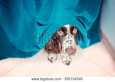 The Dog Is Hiding Behind The Curtains And Is Afraid To Go Out. The Concept Of Dogs Anxiety About Thu