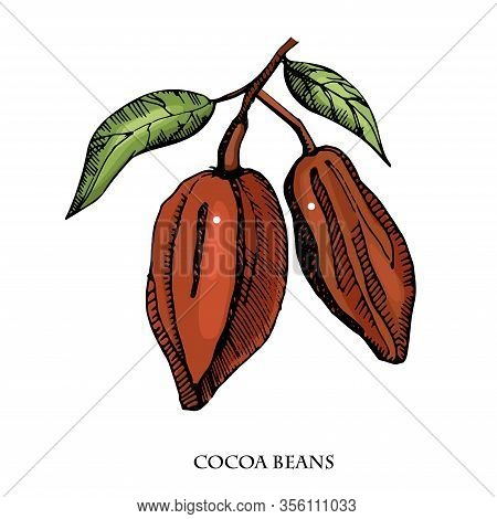 Cocoa Beans Vector Set Illustration.vintage Ink Hand Drawn Beans, Isolated On White Background.isola