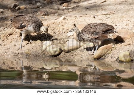Female Of Indian Peafowl With Her Chicks Drinking Water In Summer In Madrid