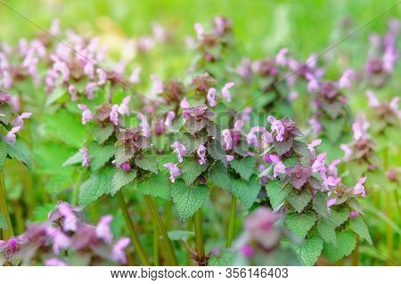 Wild Meadow In Spring. Melissa With Pink Flowers Growing In A Clearing In Forest On A Sunny Day.
