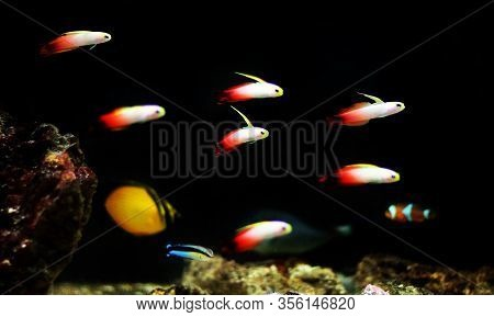 Red Fire Goby Saltwater Fish - Nemateleotris Magnifica