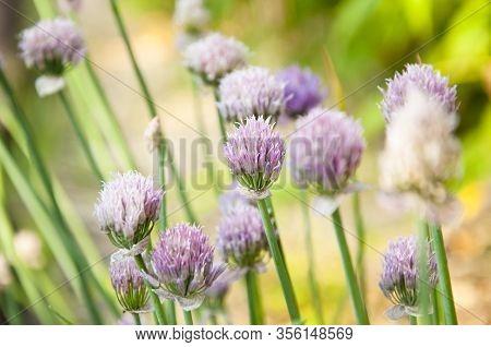 Flowering Onions. Scenery Of Spring Of Japan. Onion Purple Flowers. Countless Buds.