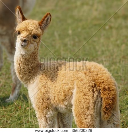 A Beautiful Red Headed Baby Alpaca Enjoying A Lovely Late Summer Day.