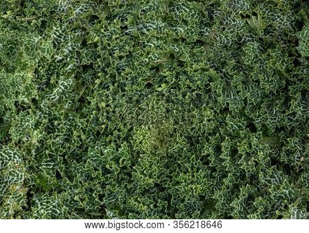 Green Plant Foliage With White Spots, Jungle Plant Texture Background