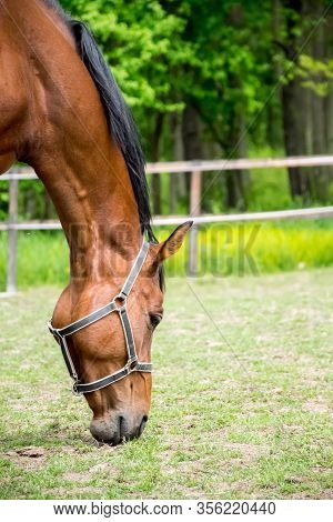 Grazing Horse In The Grassy Pasture. Closeup On A Horse Eating Grass. Green Forrest And Paddock In T