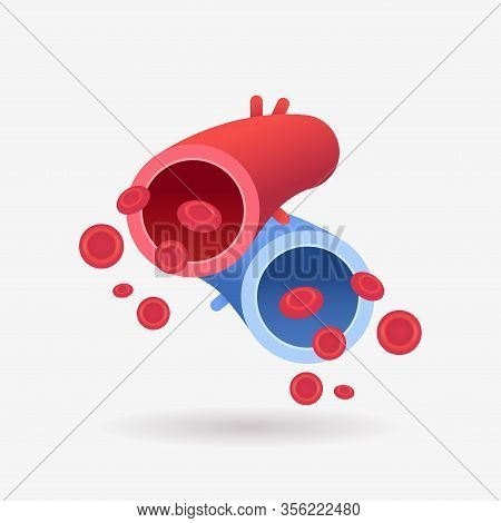 Red Artery And Blue Vein Human Circulatory System Anatomy Of Blood Vessels Biology Medicine Concept