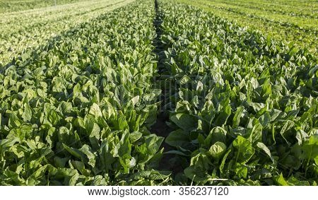 Spinach Furrow Just Before Been Harvested. Just Harvested Furrows Both Side