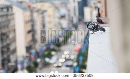Wild Bird Pigeon Dove On Windowsill From Outside Side Of Window In Big City.