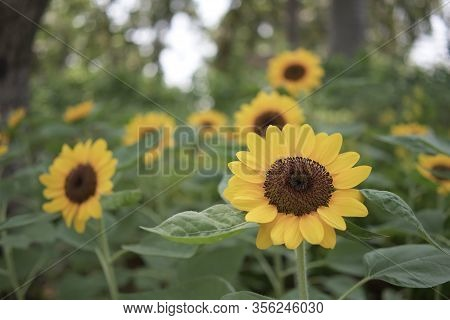 Sunflower Or Helianthus Annuus Is Annual Plant In Family Asteracea. Big Yellow Flowers And Green Lea