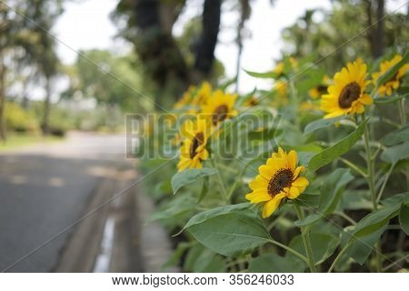 Helianthus Annuus Or Sunflower Is Annual Plant In Family Asteracea. Big Yellow Flowers And Green Lea