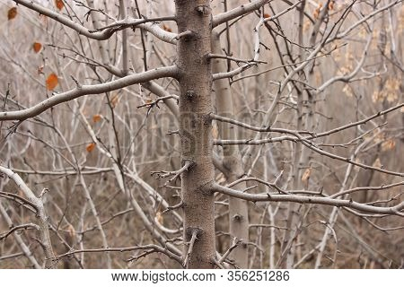 Naked Quaking Aspen Tree In Autumn Forest